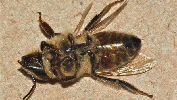 Včelí zombie