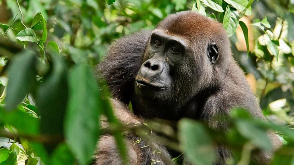 Gorily v Africe