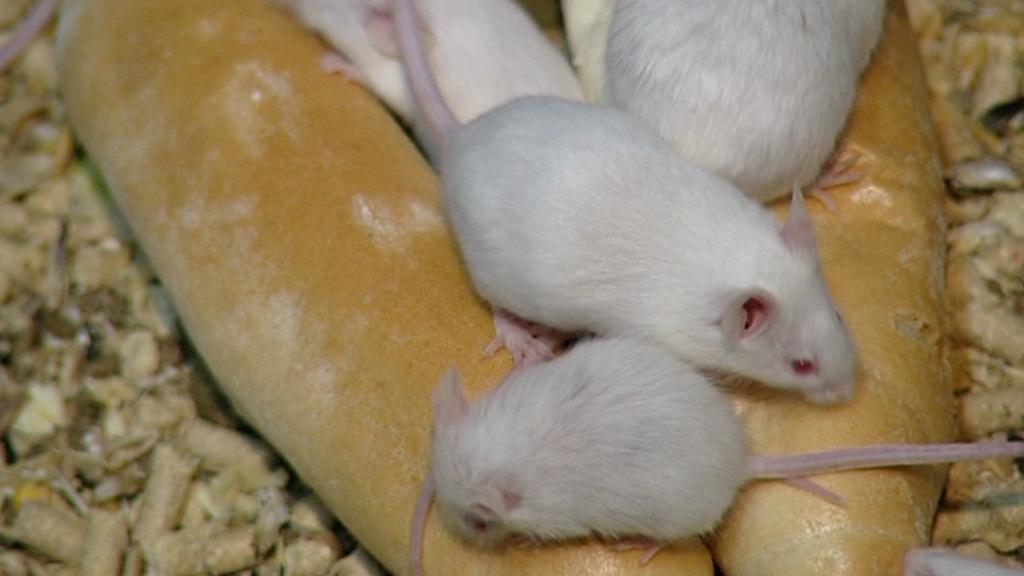 Myši mezi rohlíky