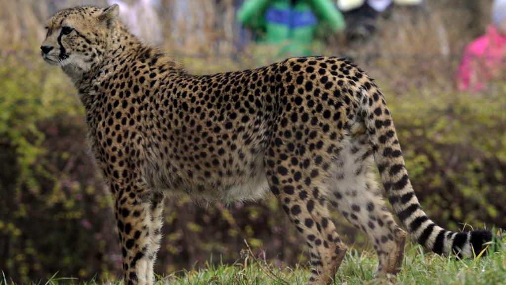 Gepard Kubango