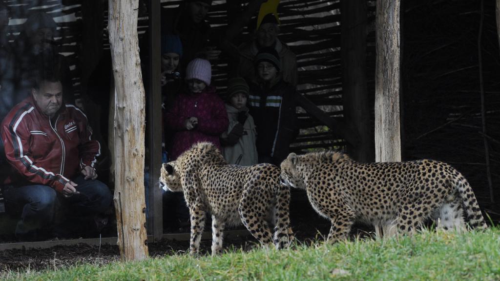 Gepardí dvojčata Kito a Kubango