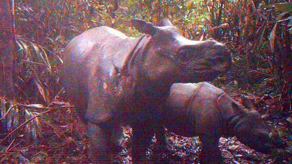 Nosorožci před kamerami v indonéském parku