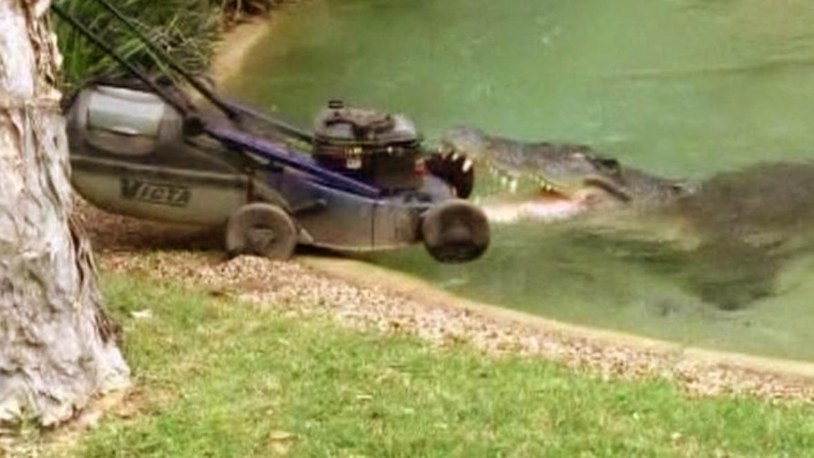 Krokodýl Elvis zaútočil na sekačku