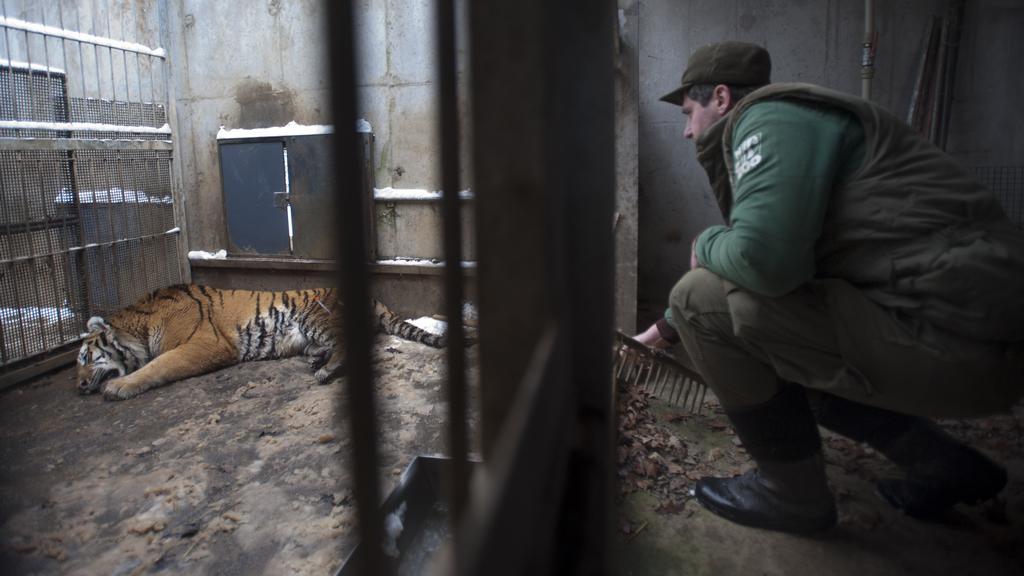 Tygr ussurijský ve zlínské zoo