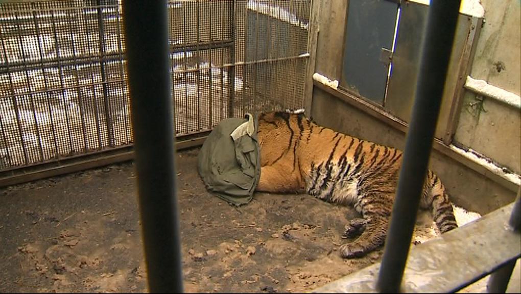 Stěhování tygra ussurijského Martyho