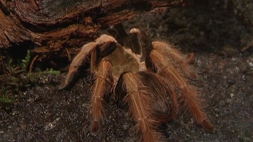 Výstava tropických pavouků v Hluboké nad Vltavou