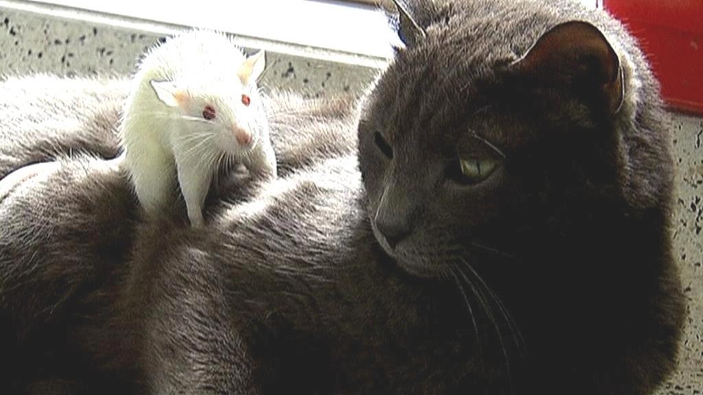 Potkan na kočce