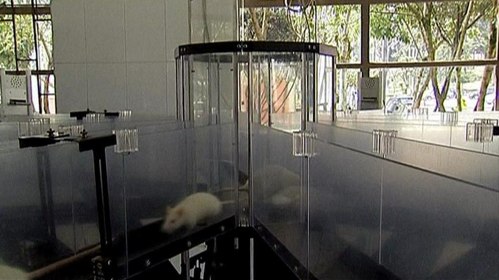 Laboratorní potkan v labyrintu
