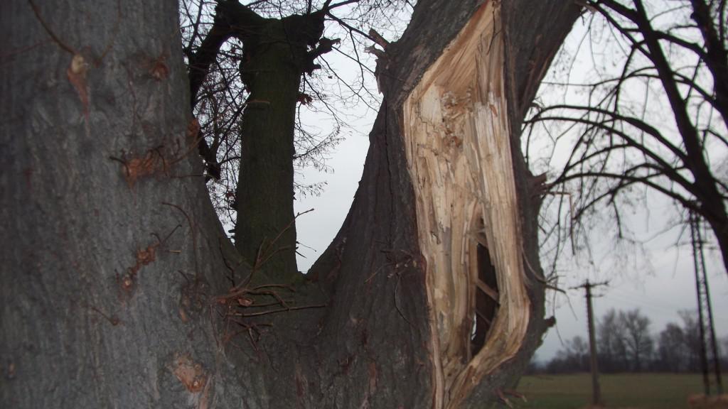 Některé stromy v aleji jsou už staré