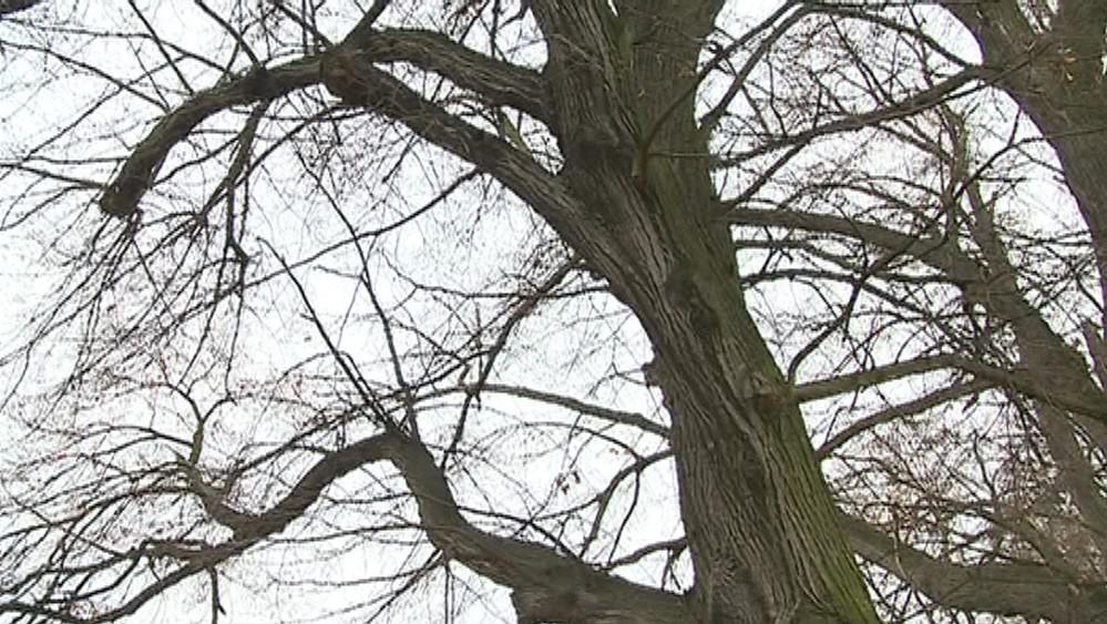 Padající větve ohrožují chodce