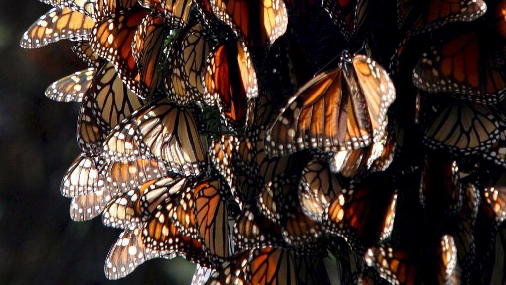 Monarcha stěhovavý