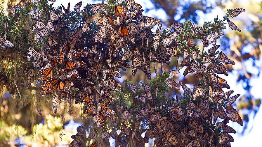 Monaracha stěhovavý
