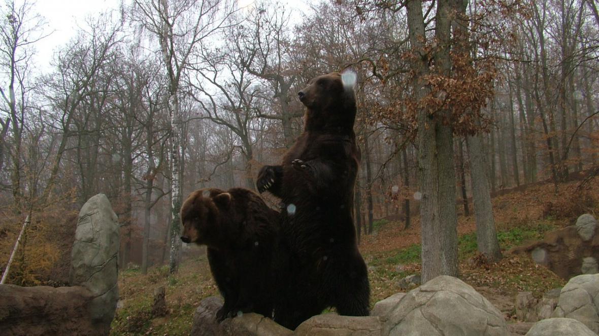 Medvědi kamčatští