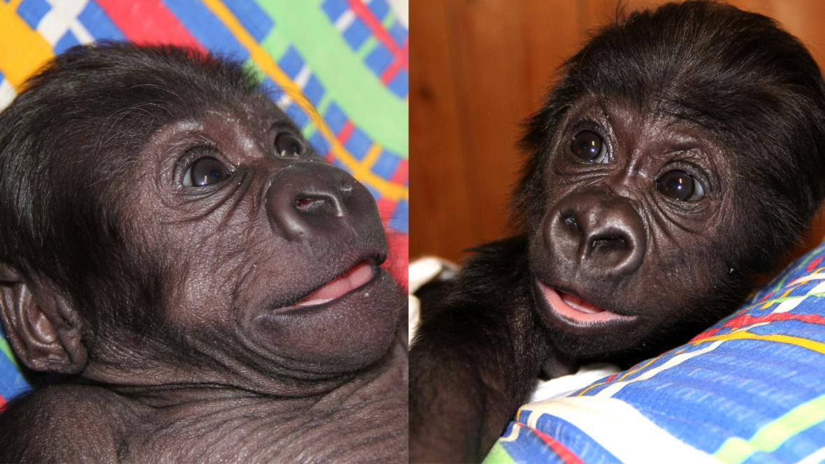 Gorilí sameček Tano