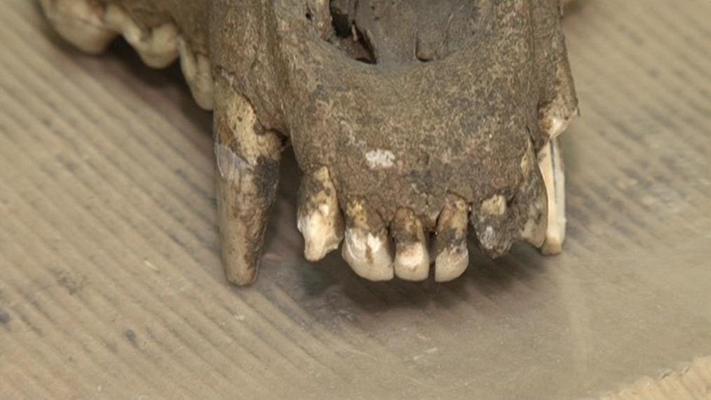 Lebka domestikovaného psa stará 25 tisíc let