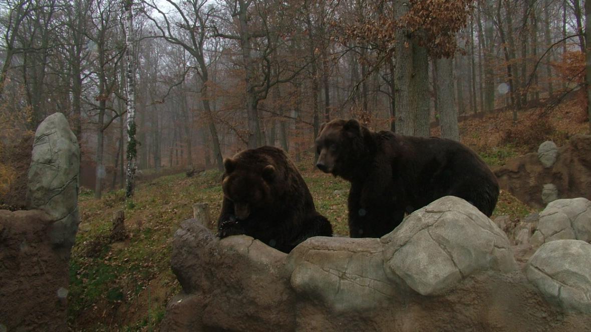 Pár medvědů kamčatských