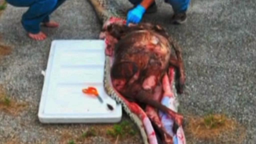 Nestrávená srna v těle pětimetrové krajty