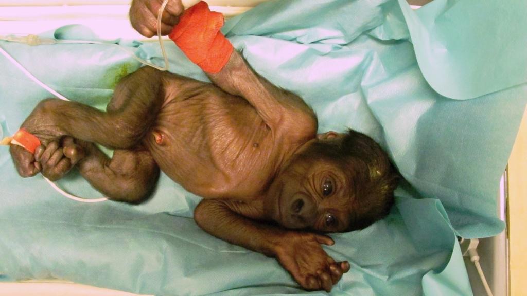 Gorilí mládě v inkubátoru