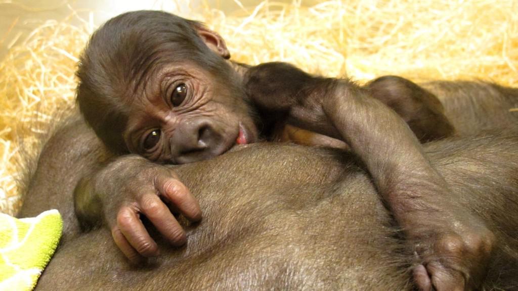 Gorilí mládě přisáté k Bikiřině prsu