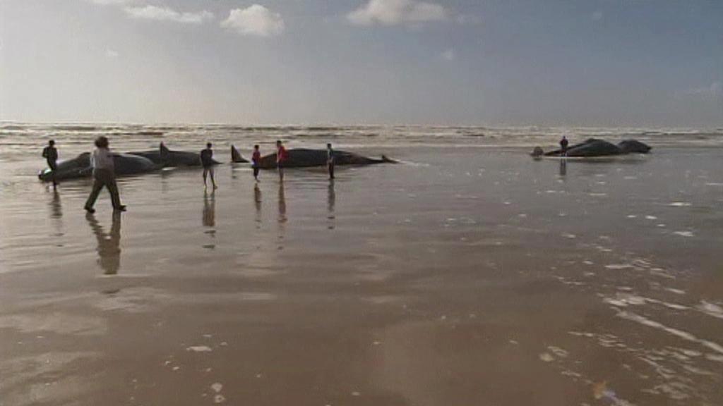 Vorvani uvízlí na Ocean Beach