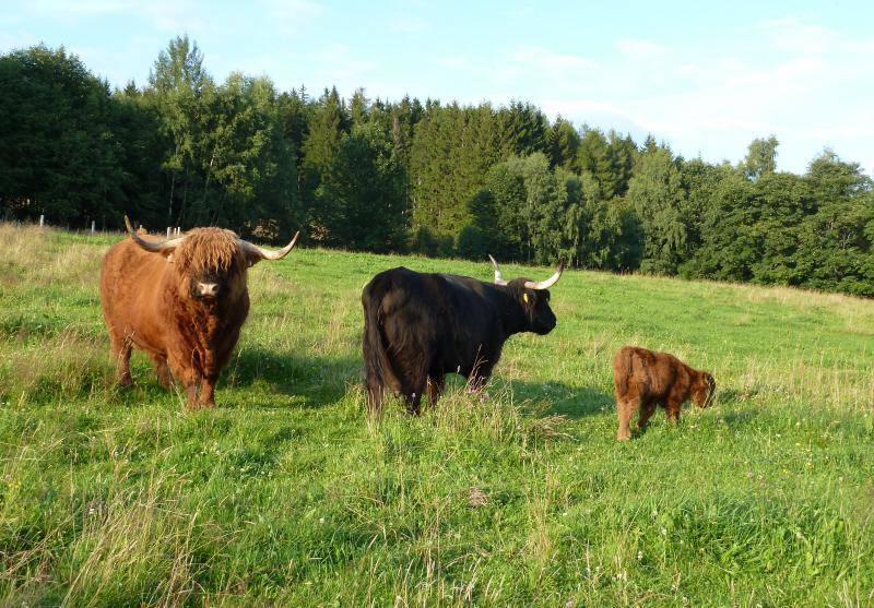Skotský náhorní skot - Highland Cattle - na oceněné louce