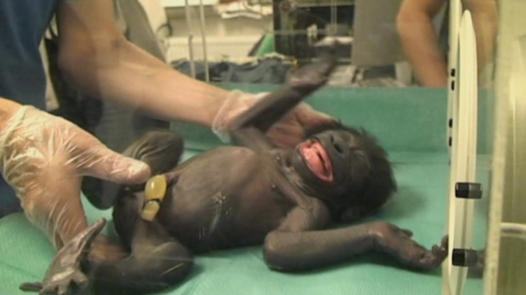 Malá gorila