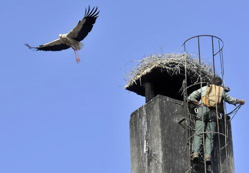 Stěhování čapího hnízda