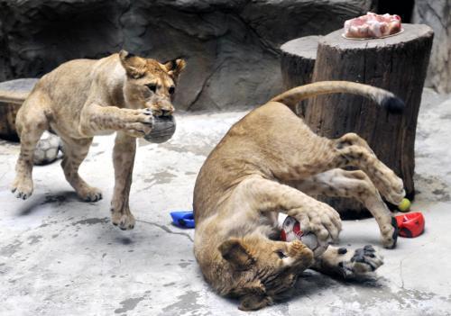 Lvi z olomoucké zoo