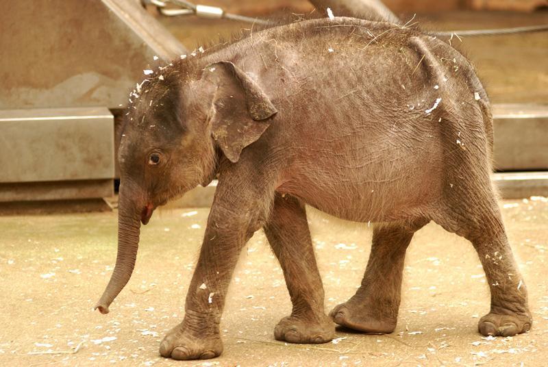 Sloní sameček