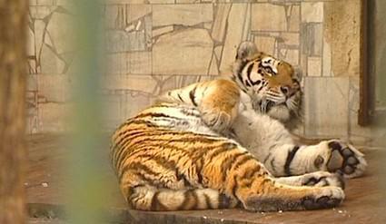Samice tygra ussurijského