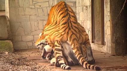 Páření tygrů ussurijských