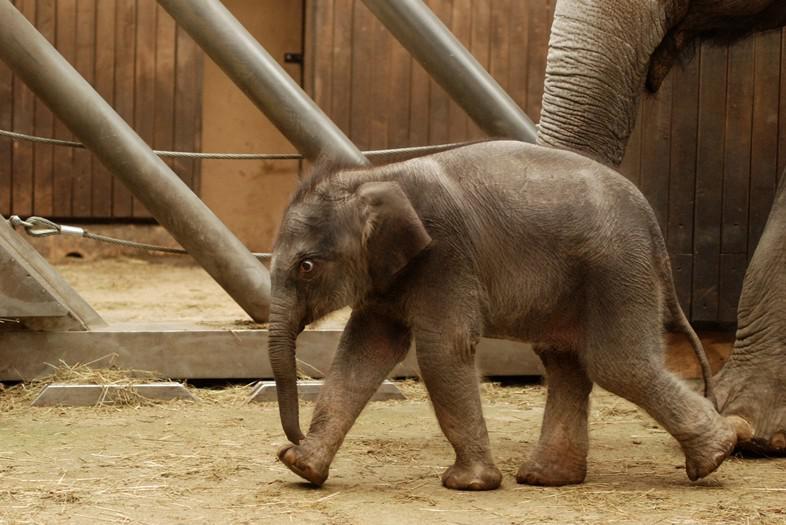 Sloní samička