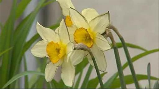 Šedý popel pokryl i kvetoucí narcisy