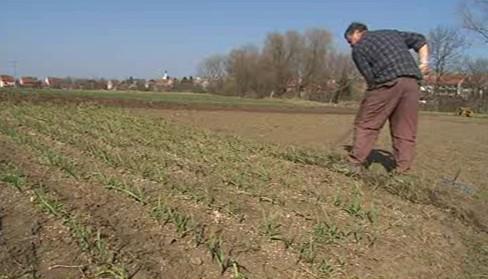 Pěstování česneku je náročné na lidskou práci