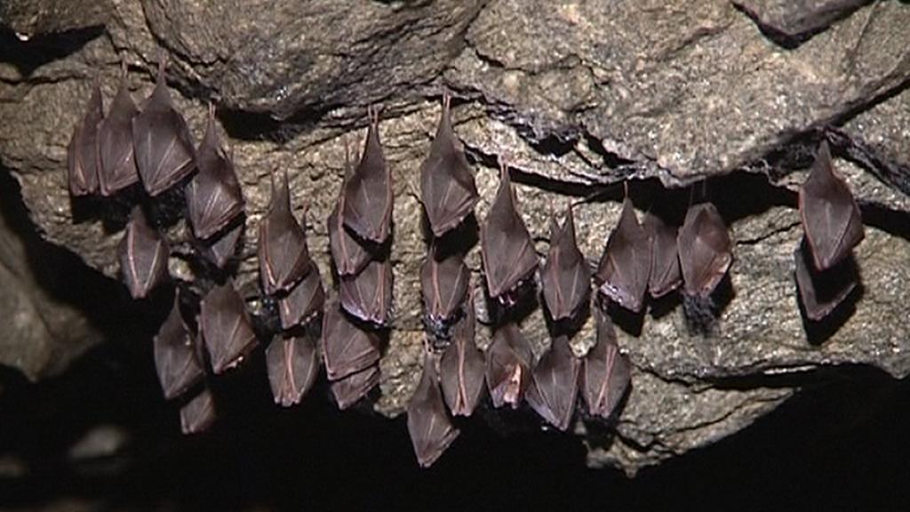 Kolonie netopýrů vrápenců