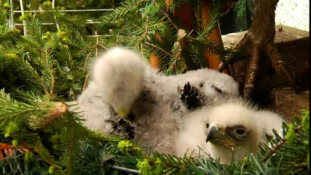 Mláďata orla skalního