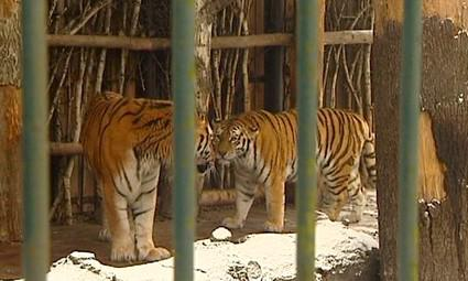 Párek tygrů ussurijských v ostravské ZOO