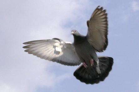 Holub v letu