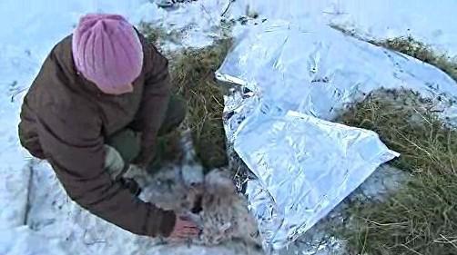 Majitelka v ohradě zakrývá mrtvé ovce