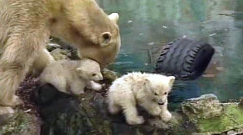 Medvědice Cora s mláďaty Billem a Tomem