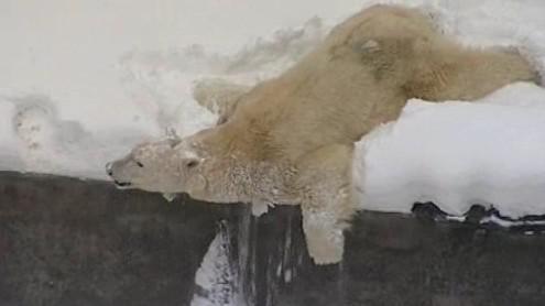 Medvědice Cora si užívá sněhovou nadílku