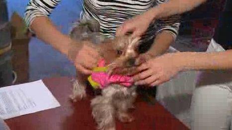 Příprava psí modelky před přehlídkou