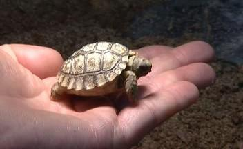 Želva chilská