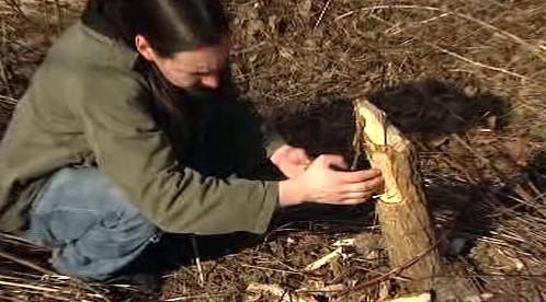 Kmen stromu ohryzaný bobrem