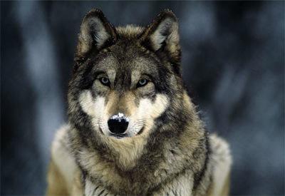 Vlk šedý
