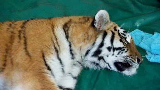 Tygřice Darja