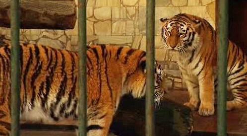 Tygři ussurijští