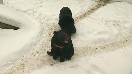 Medvědí pár