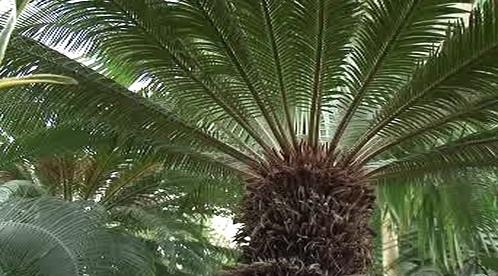 Koruna palmy