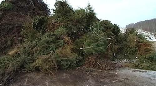 Svezené vánoční stromky